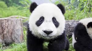 пандас