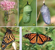 куколка бабочки