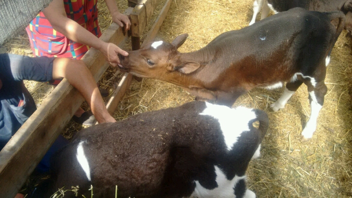 Доила корову а ее трахнули в жопу