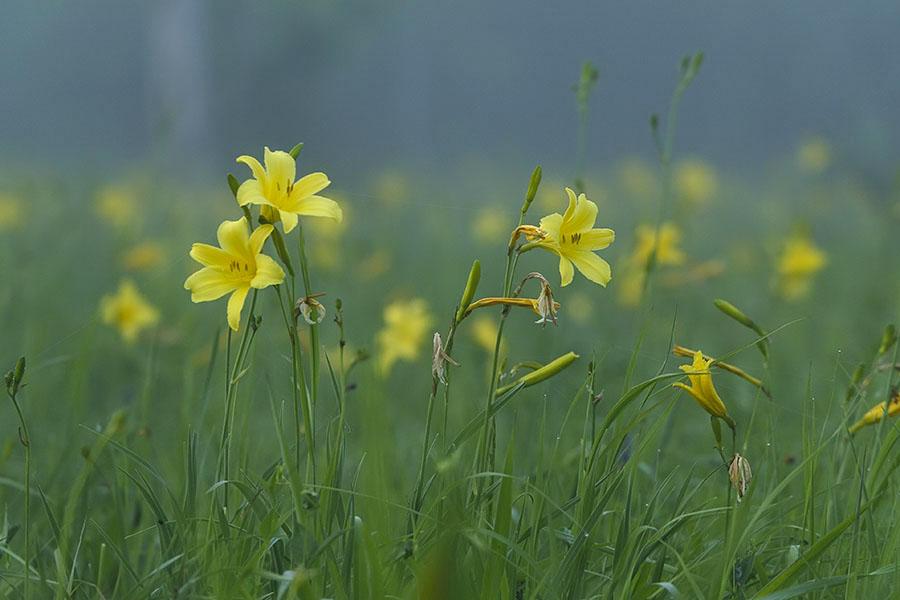 красодневы в тумане_MG_3757