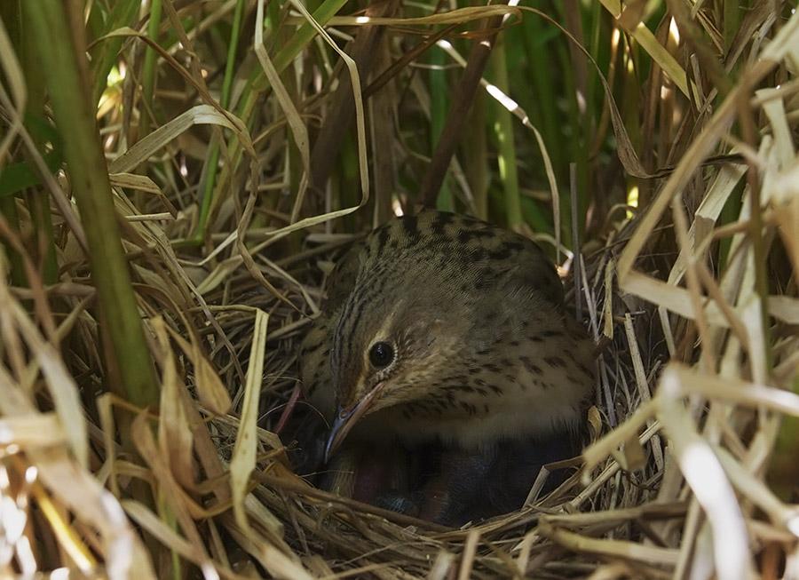 птицы фото гнездятся в траве увеличение количества многолетников