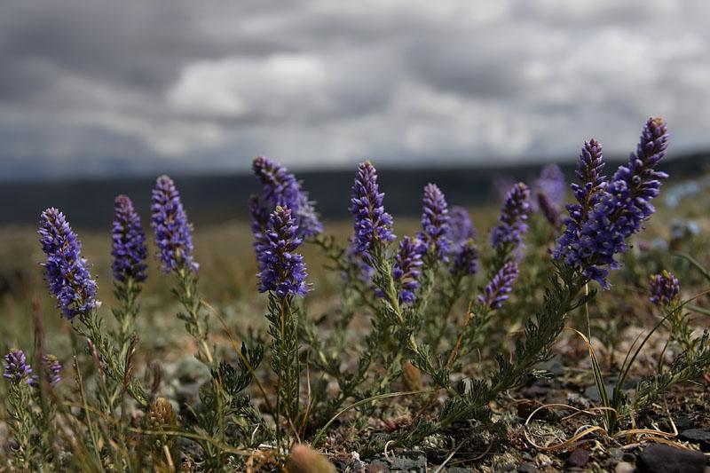 Степные растения фото и названия