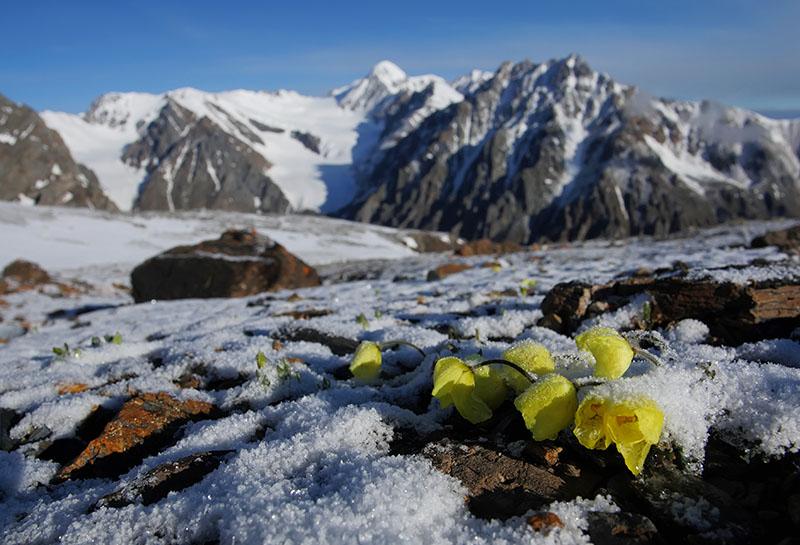 Горный алтай цветы весной картинки