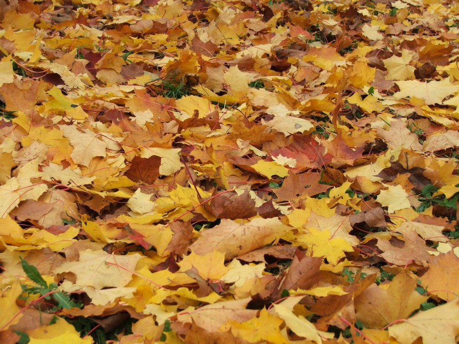 Бегония с красными листьями фото и названия песни
