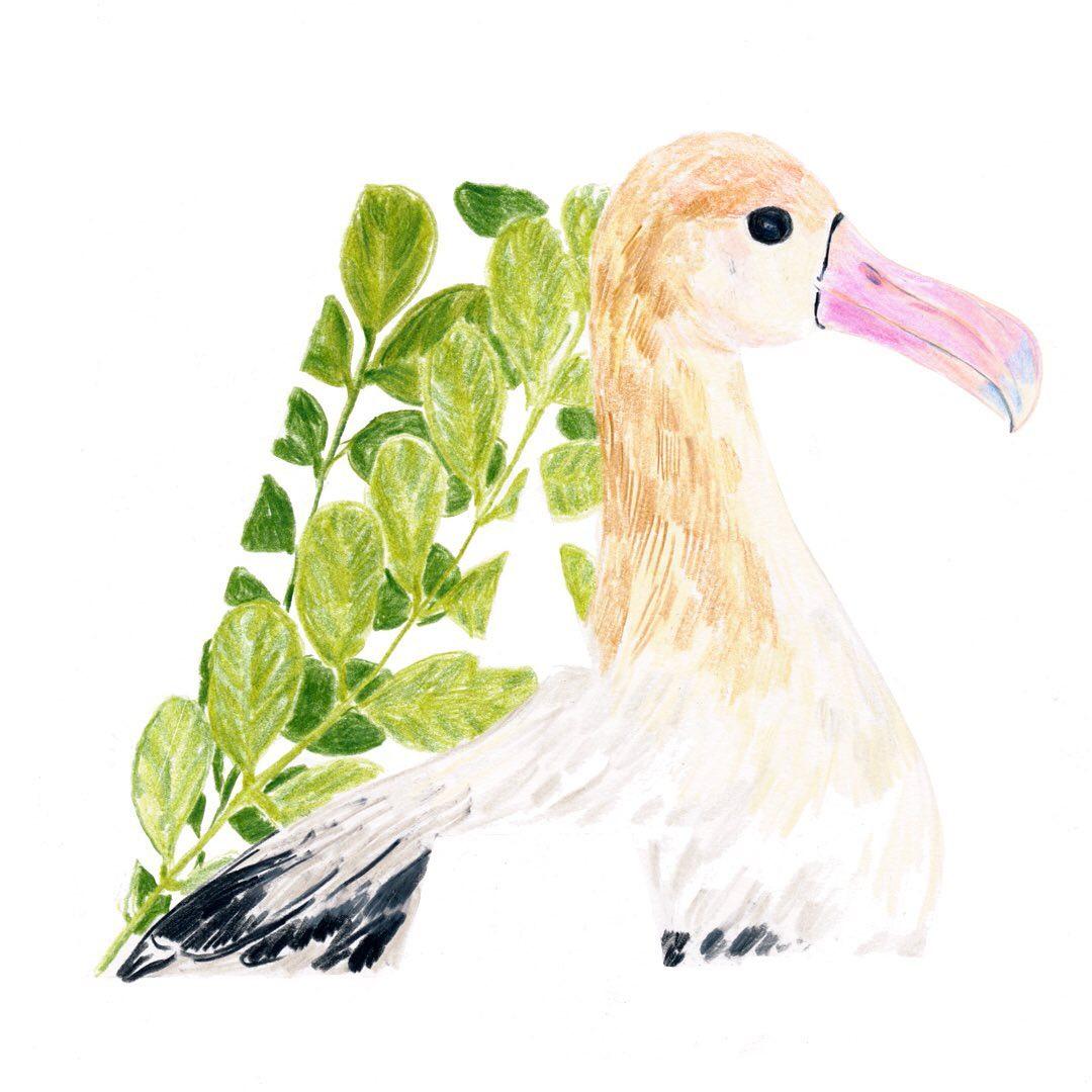 Albatross and Acacia