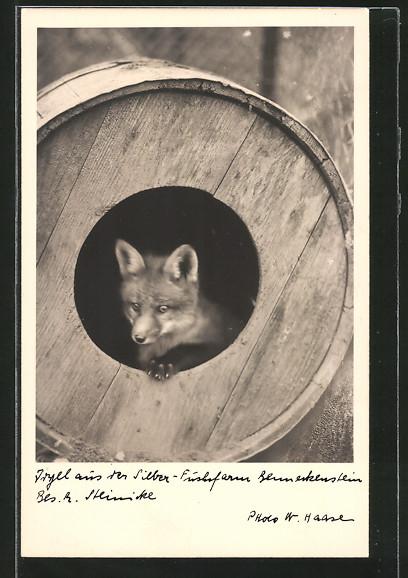 AK-Benneckenstein-Fuchs-aus-der-Silber-Fuchsfarm-schaut-aus-seinem-Bau.jpg