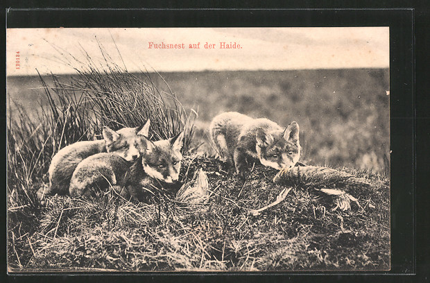 AK-Fuchsnest-mit-Jungtieren-auf-der-Haide.jpg