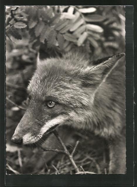 AK-Rotfuchs-schleicht-durchs-Unterholz.jpg