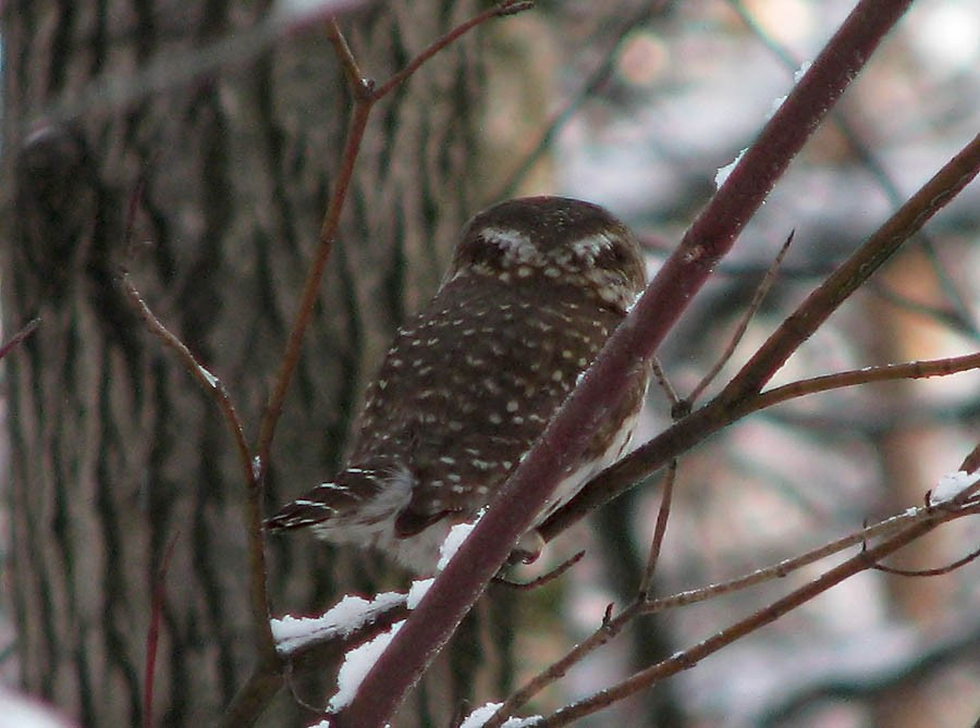 Glaucidium_passerinum_false_eye_small
