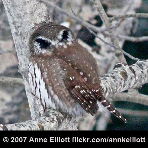 northern-pygmy-owl-anne-elliott-490