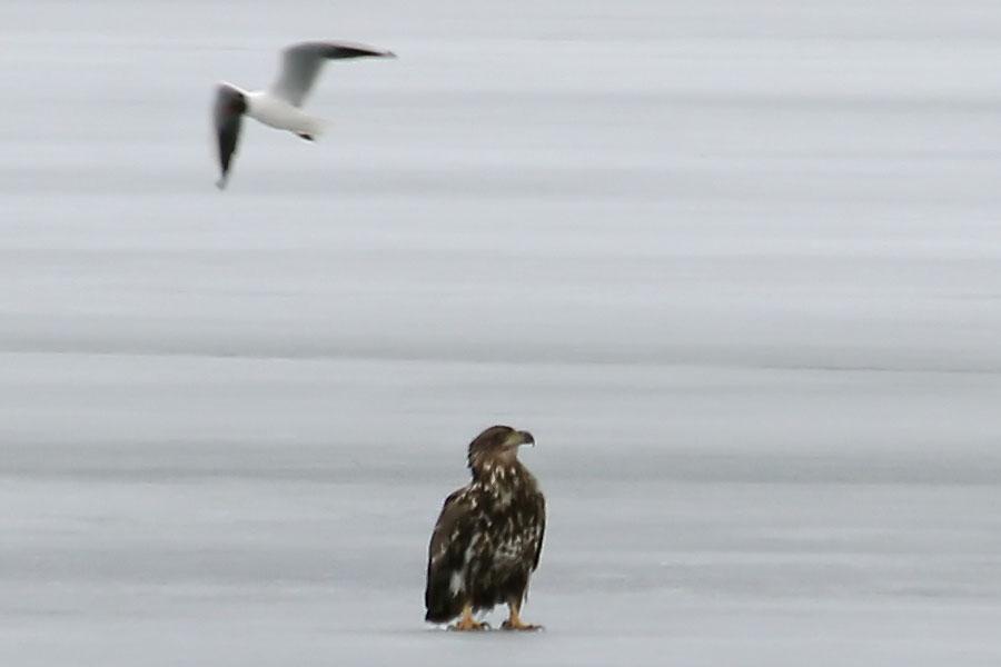 Gull_attack