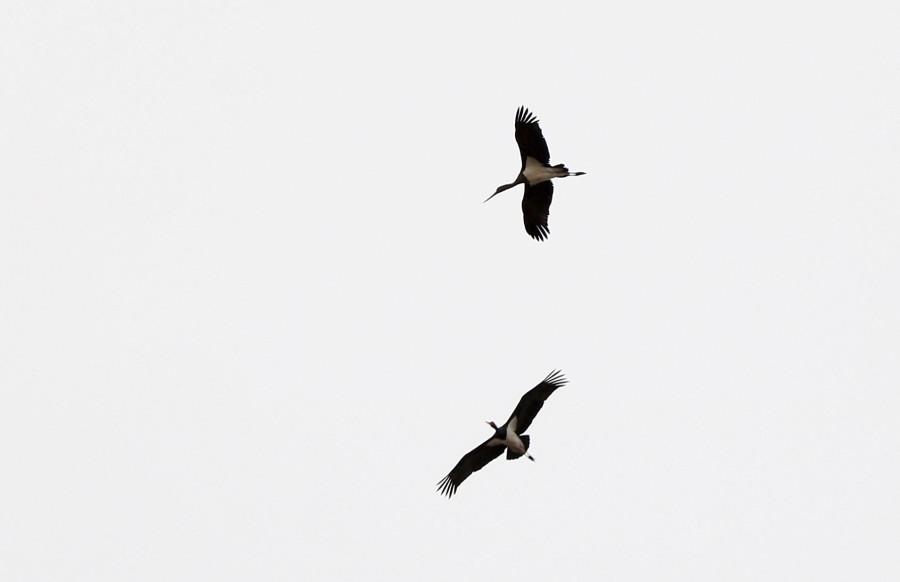 Ciconia_nigra
