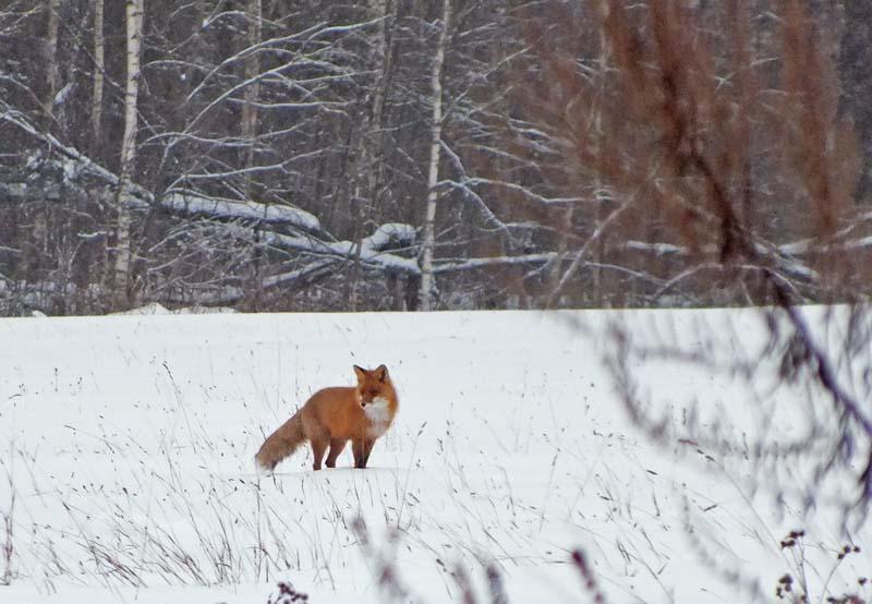 Fox_02_LJ