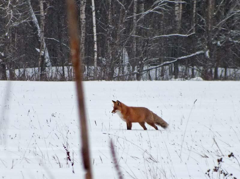 Fox_01_LJ