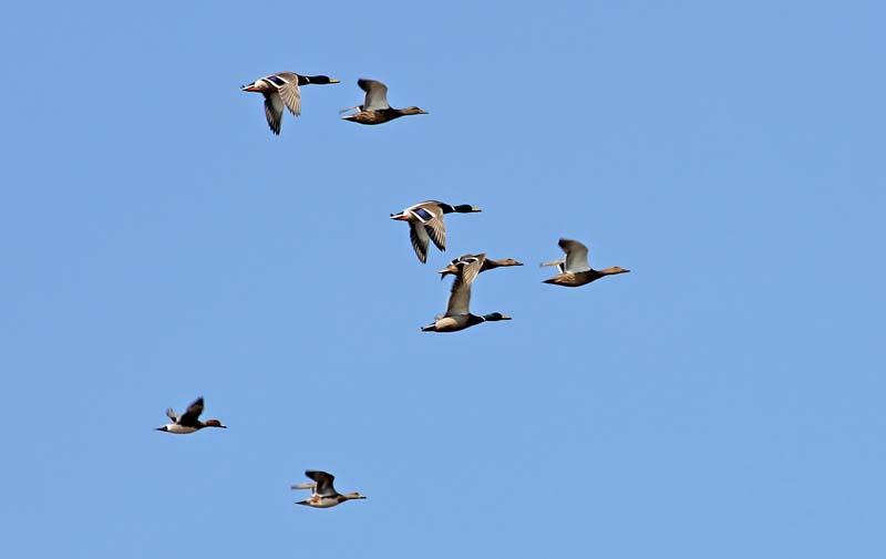 Ducks_flight