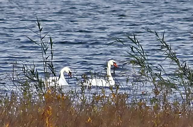 Swans_crop