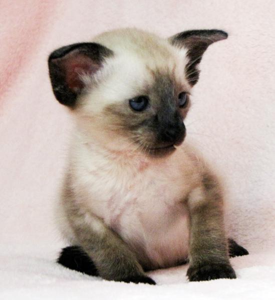 милый сиамский котенок