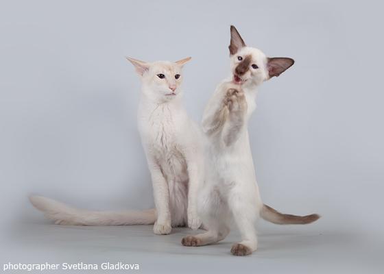 забавный котенок балинез