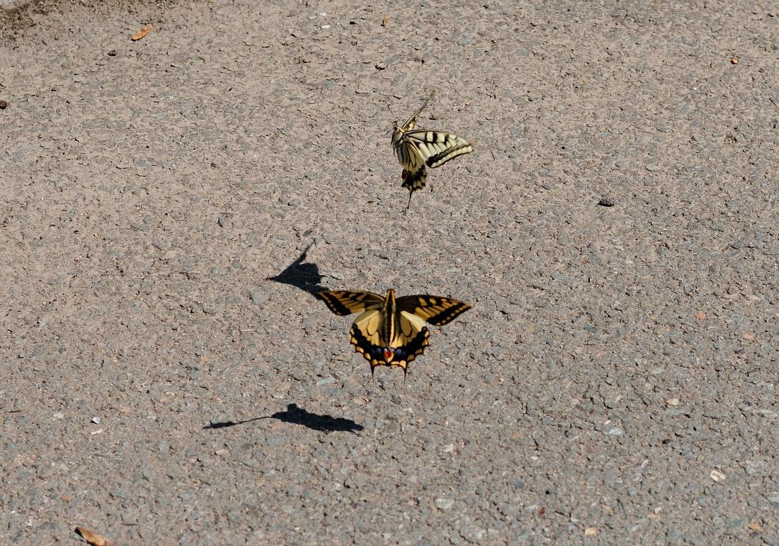 Бабочкт