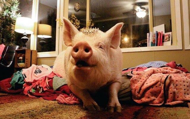 В доме у канадцев живёт свинья