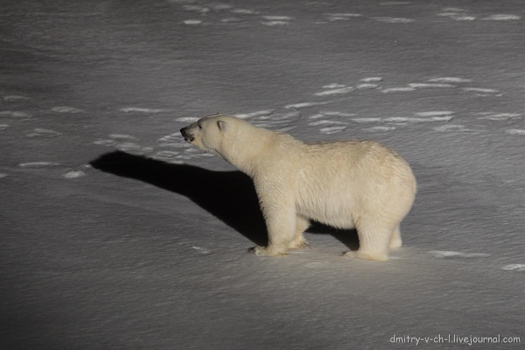 Белый медведь 1
