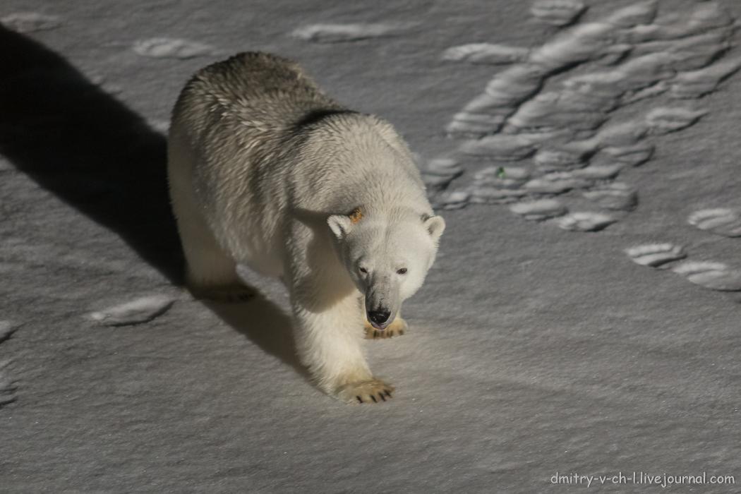 Белый медведь 2