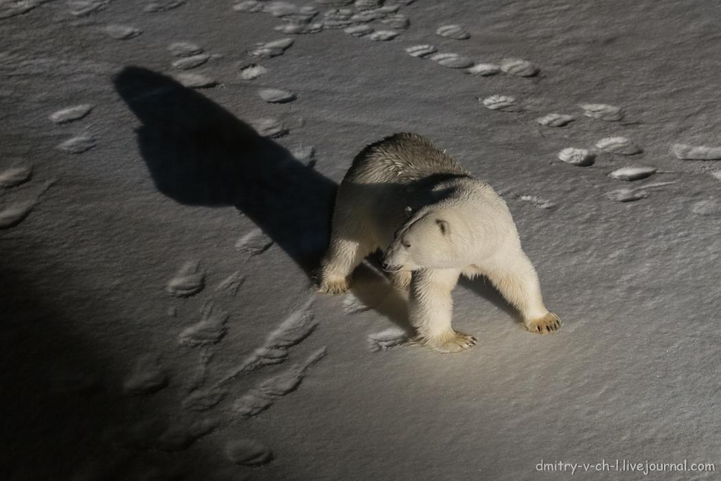 Белый медведь 3
