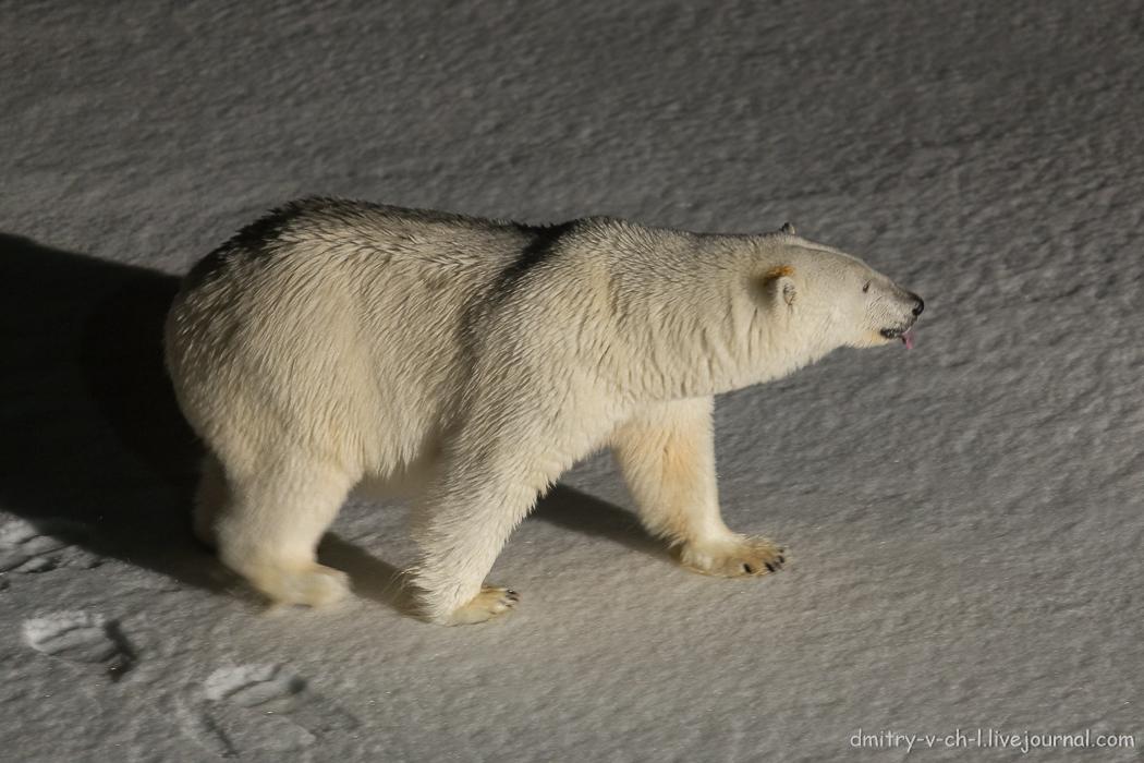 Белый медведь 4