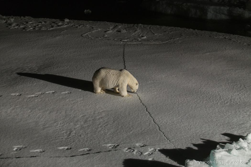 Белый медведь 5