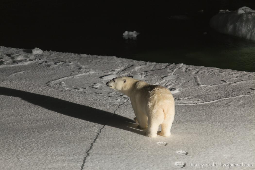 Белый медведь 6