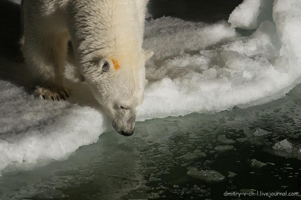 Белый медведь 7
