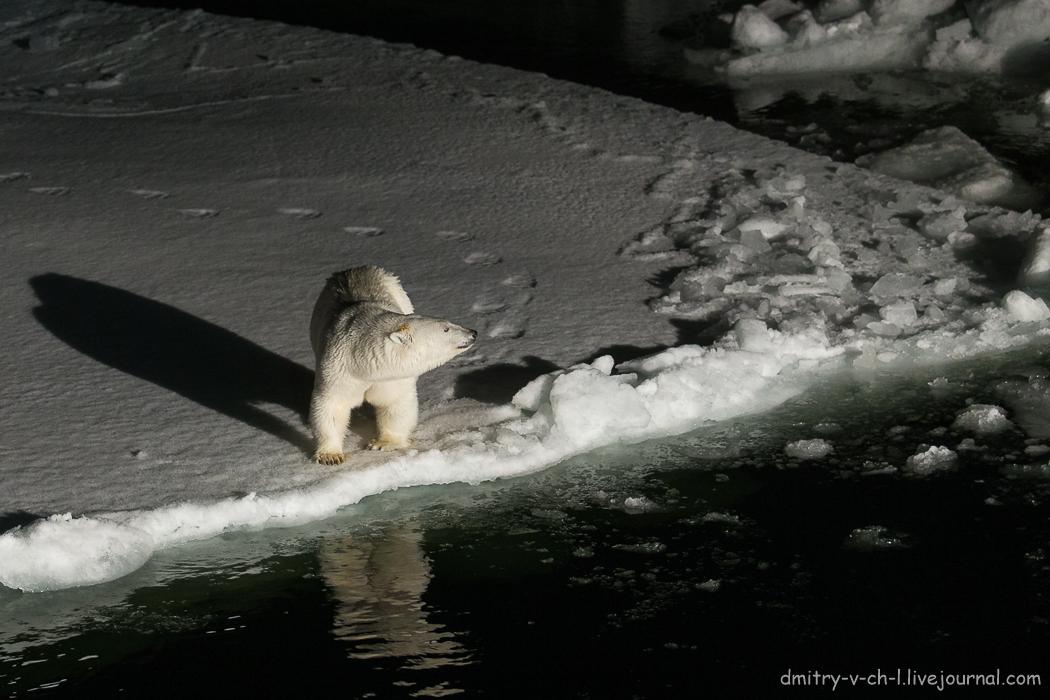 Белый медведь 8