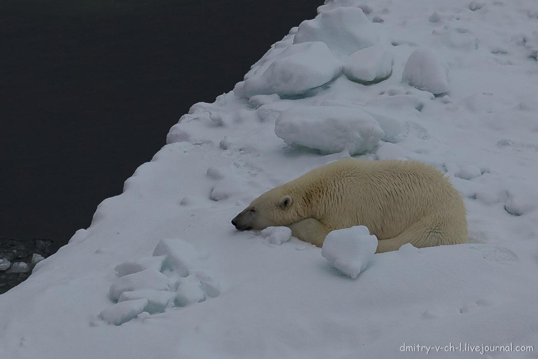 Белый медведь 9