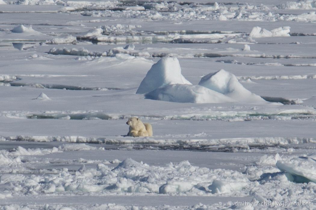 Polar bear- 01