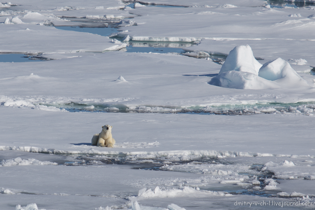 Polar bear- 02