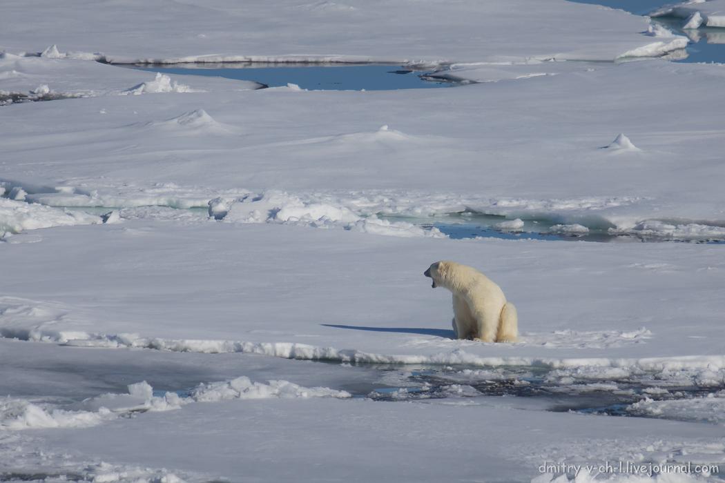 Polar bear- 03