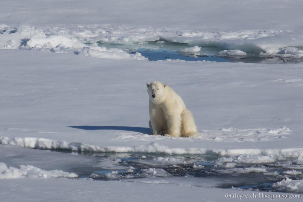 Polar bear- 04