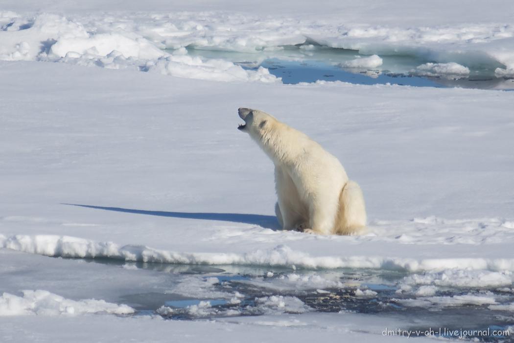 Polar bear- 05