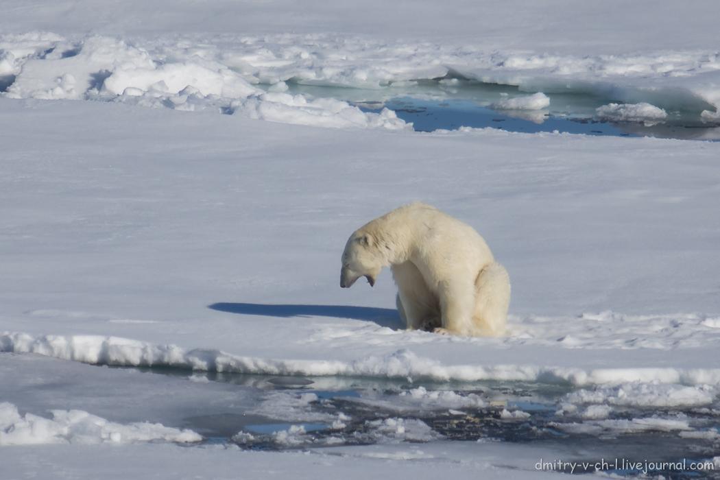 Polar bear- 06