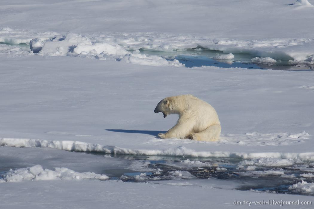 Polar bear- 07
