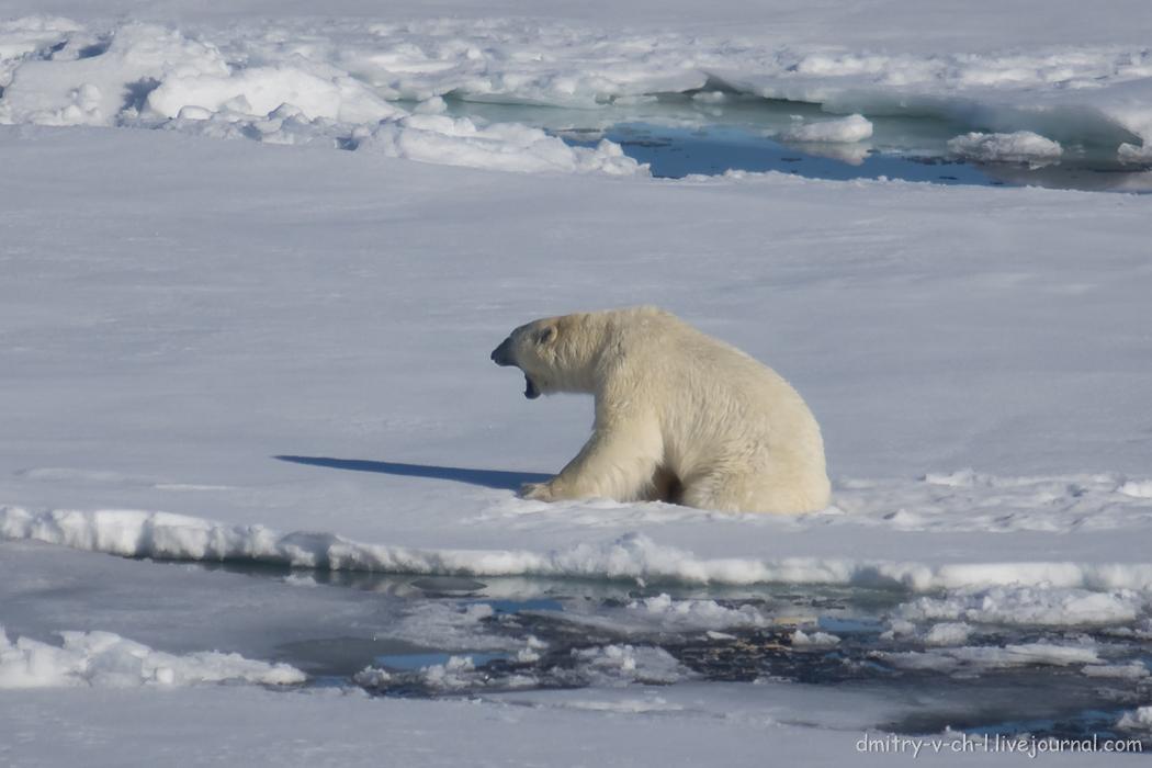 Polar bear- 08