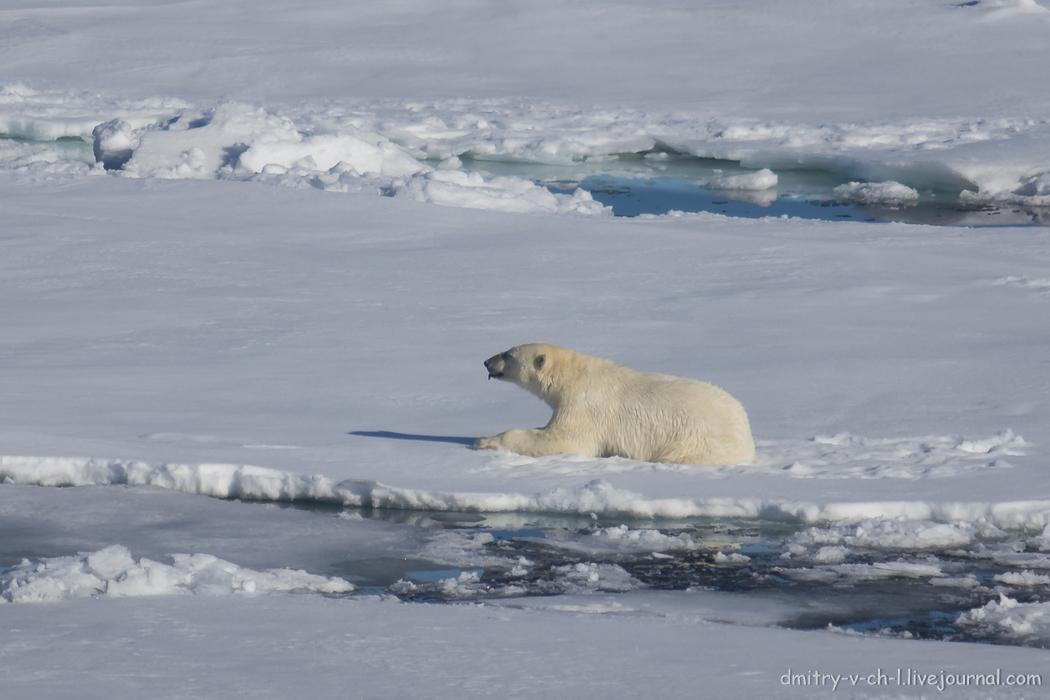 Polar bear- 09