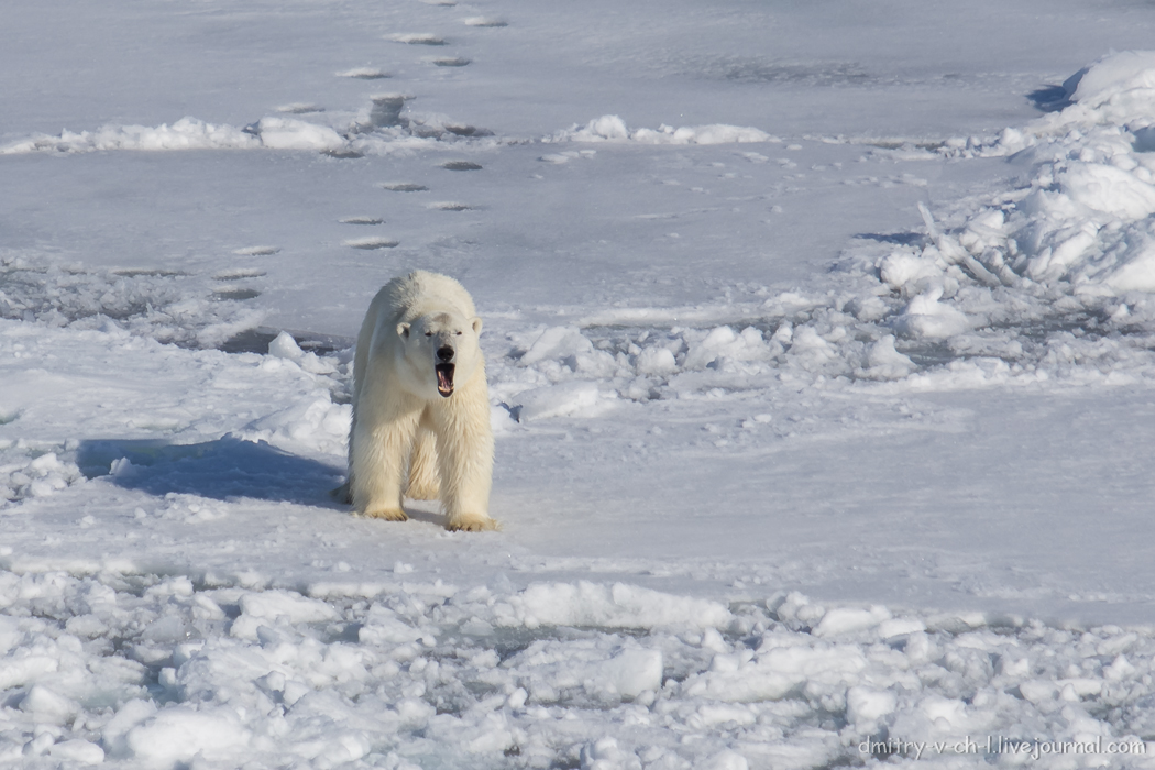 Polar bear- 10
