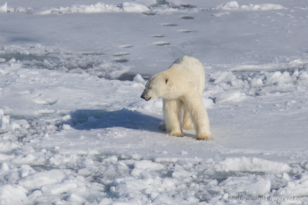 Polar bear- 11