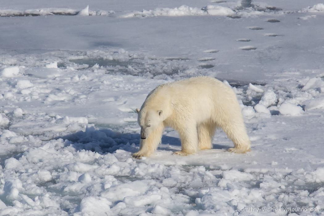 Polar bear- 12