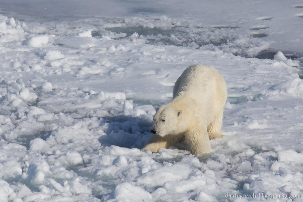 Polar bear- 13
