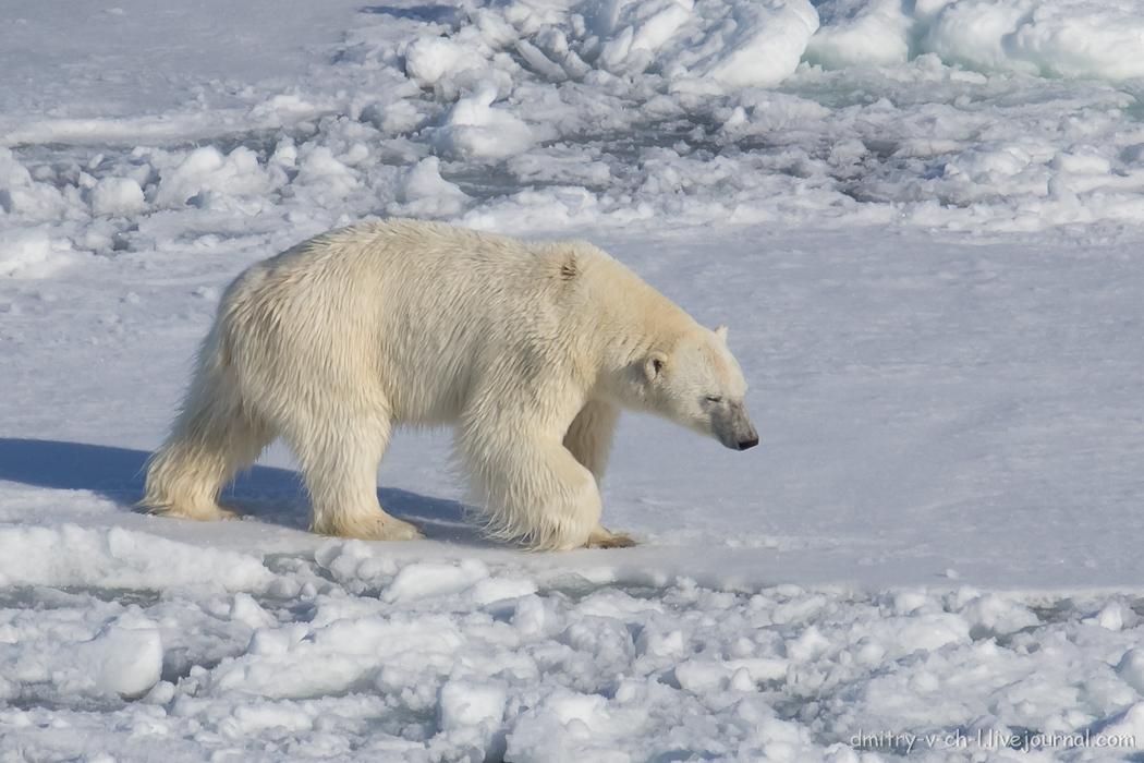 Polar bear- 14