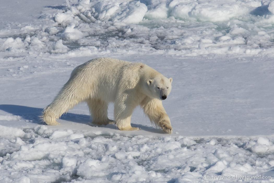Polar bear- 15