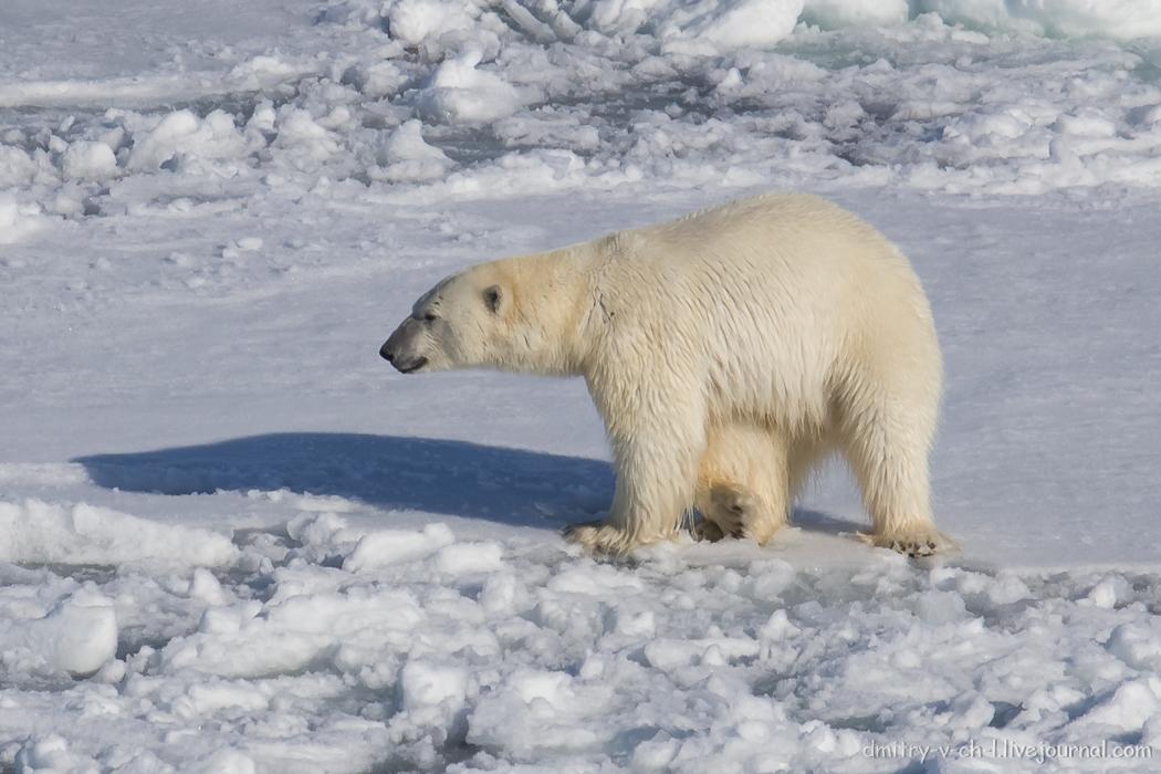 Polar bear- 16