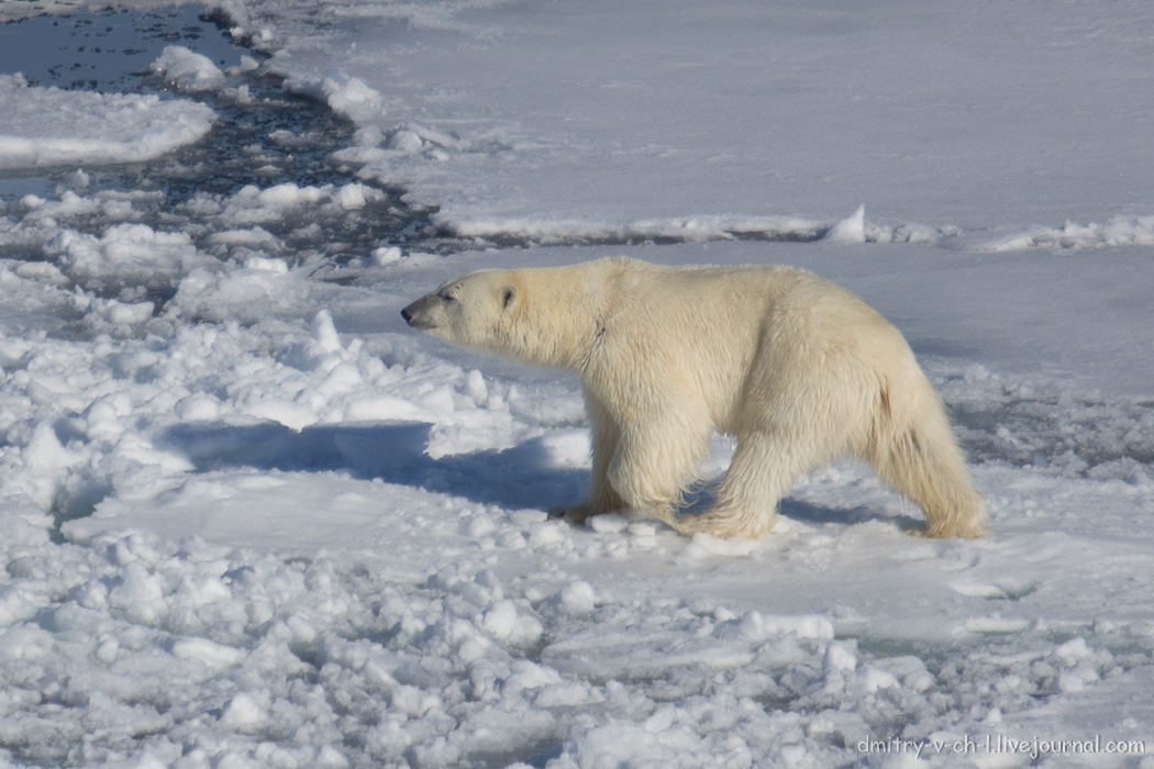 Polar bear- 17